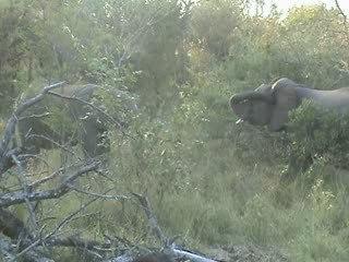 baston d'éléphantos