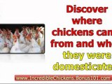 guide to raising chickens - raising chickens at home - Raising Chickens for Eggs