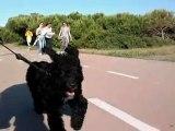 Cachorro de perro de agua HD spanish water dog puppy running