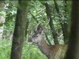 daguet et beau cerf 12 cors forêt de Mormal juillet 2011