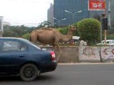 Camel On The Indian Road