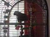 Jengo perroquet gris du gabon