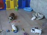 bébés chihuahuas et parcours d'agility !