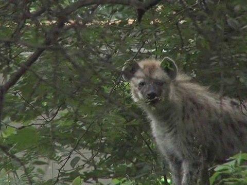 Hyenas At the Bronx Zoo