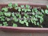 jardinage à l'école - faire pousser des radis