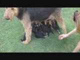 Airedale Puppies - Puppies Feeding - Oorang Airedales