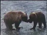 Grizzly Bear vs Caribou - After, fight versus vs