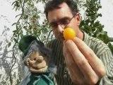 Tacotin le Lutin - Dans mon jardin - La tomate-cerise