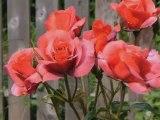 PhotoStory1.wp3 Czerwone róże