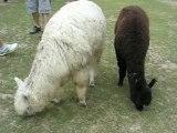 Zoo Branféré : lamas