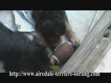 Airedale Puppy - First Bark - Airedale Terriers