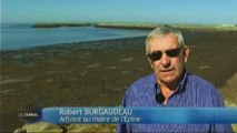 Les algues ne sont pas dangereuses (Ile de Noirmoutier)