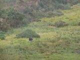 Dans le Kerry, chiens de berger et moutons...