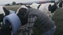 Vidéo fun – Les vaches sont folles de lui !!