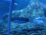 raie manta et requin