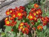 Paysage et fleurs de chez moi - Printemps 2009