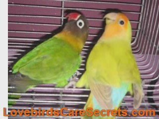 African Lovebirds - See The Beauty of This Lovely Birds