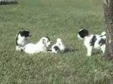 Elevage des Sources du Salaison Terrier du tibet