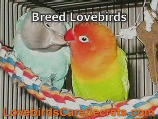 Peach Faced Lovebirds - Perfect Pet For You