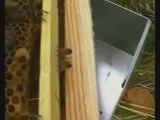 Naissance d'une reine d'abeille, le reflexe de ponte