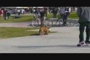 Un chien qui fait du skateboard !!