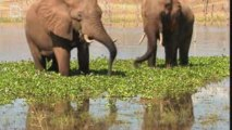 Elephant d'Afrique de savane (Loxodonta africana)
