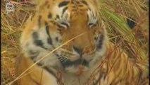 Bengal Tiger - Tigre du Bengale (panthera tigris tigris)