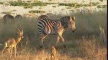 Zebre des plaines (Equus quagga) 1