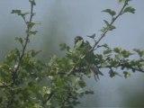 Hirondelle rustique Carouge 10-08-09