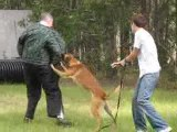Tebow Belgian Malinois protection training