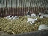 les moutons de la bergerie de Rambouillet