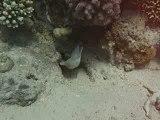 Murene blanche en Mer Rouge