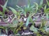 Moje palmy mrozoodporność-18°C,mon palmiers résistance-18°C