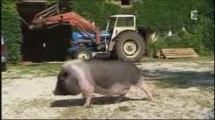 30 millions d'amis - Copains comme cochon