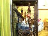 perroquet gris du gabon 6 mois sous le nom de Picolo........