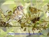 Chants d'oiseaux d'Europe N°3 (site oiseaux-faune.net)