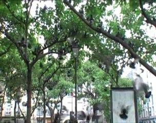 Les pigeons dansent la ville (Extrait 1)