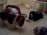 100_6928bébés lapins bélier teddy et cavaliers king charles