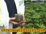 How to Clone Cannabis Plants for an Indoor Cannabis ...