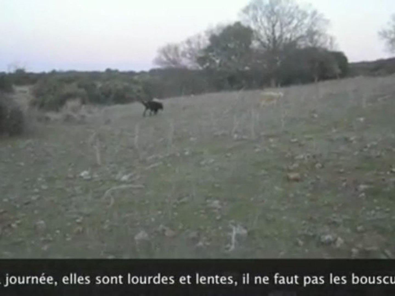 Urkan berger de Beauce ramène le troupeau à la bergerie