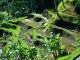 Ecouter le riz pousser dans les rizières de Bali_0004