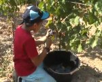 1-vendanges CE1 : le travail dans les vignes (25 09 09)