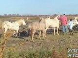Petits chevaux camarguais, poulains et juments