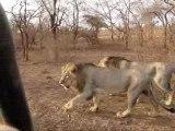 Asiatic Lions of Sasan Gir