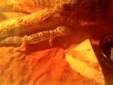 repas gecko leopard