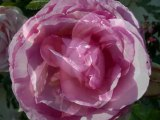 Mon amie la rose. Françoise Hardy.