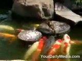 Animaux Sociables le Canard et les poissons
