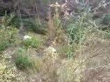 Ariégeois à la poursuite d'un lièvre