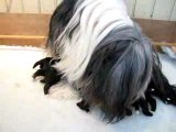 CHIOTS BEARDED-COLLIE