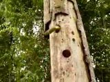 Woody Woodpecker Goes Insane